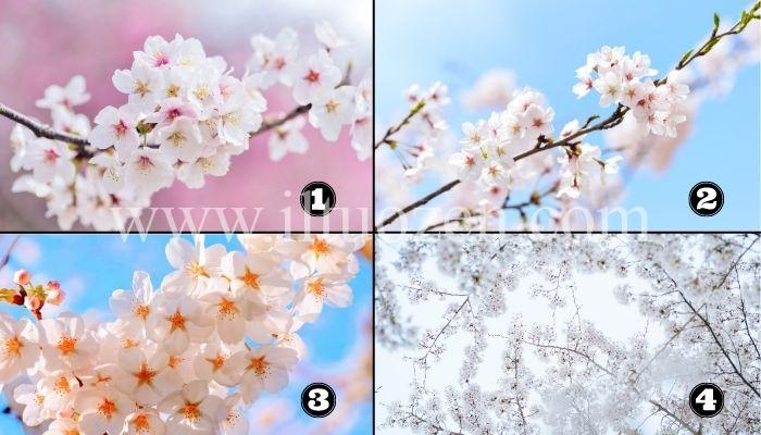 Scegli un sakura e scopri il messaggio che ti aiuterà a rinascere