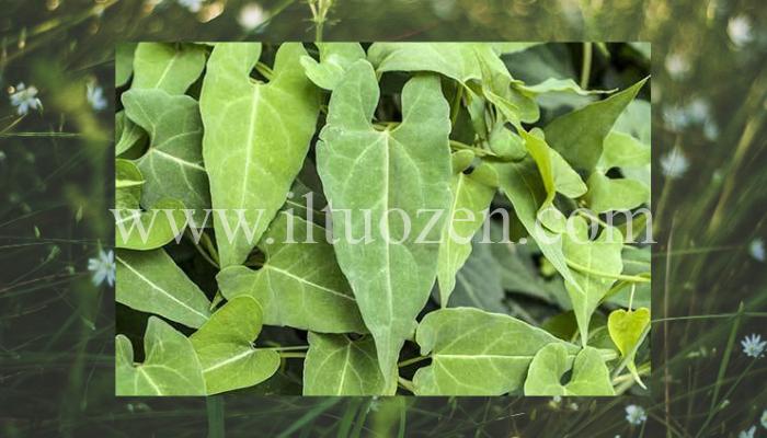 Questa pianta anti-età utilizzata in oriente è il segreto della perenne giovinezza asiatica. Scopri il suo autentico miracolo naturale