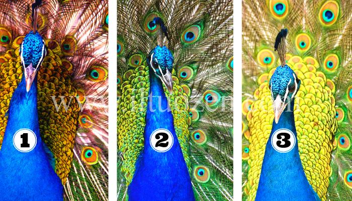 Scegli un pavone e scopri cosa ti accadrà durante la primavera